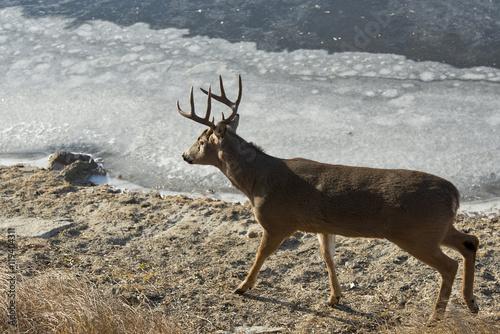 Wall mural Whitetail Deer Buck