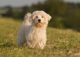 Havaneser Hund Welpe spielt auf der Wiese