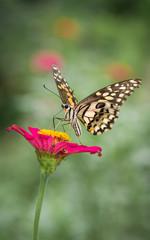 Beautiful Monarch Butterfly on flower