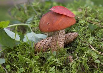 Сьедобный гриб подосиновик