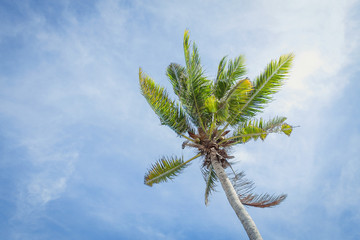 Coconut trees against the sky