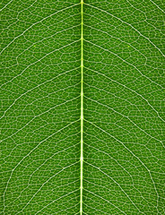 the texture of green leaf with bright veins