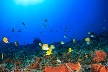 Coral reef underwater. Tropical fish butterflyfish