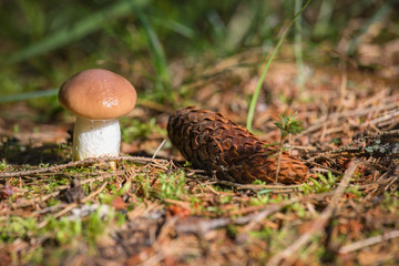 Mushrooms of the family oil. The birth of fungi. Mushrooms with brown hat. The slimy mushrooms. Mushrooms growing in a forest.