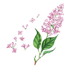 Hand drawn watercolor isolated illustration of violet lilac branch on the white background