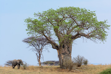African bush elephant (Loxodonta africana) and Baobab, (Adansonia digitata). Ruaha National Park. Tanzania