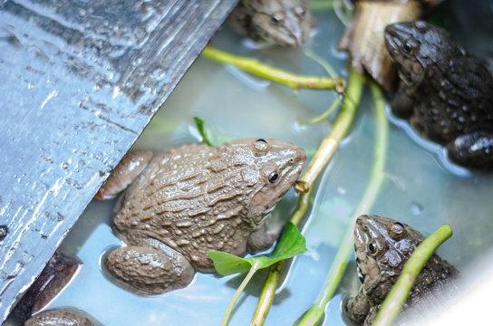 Common Thai frog in farm, Thailand