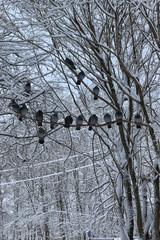Winter pigeon sitting on a tree