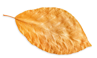 autumn yellow fall leaf isolated on white, way in path