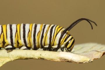 Fotoväggar - Monarch Butterfly Caterpillar (danaus plexippus)