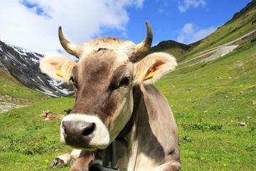 Braunvieh mit Hörnern und Glocke im Gebirge