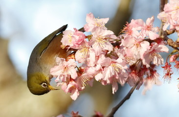 Silvereye Zosterops lateralis feeding on nectar from cherry blossoms