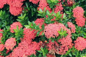 Chinese Ixora flower