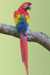 Scarlet macaw (Ara macao).  The Scarlet Macaw is the national bird of Honduras. Photo taken in western Panama.