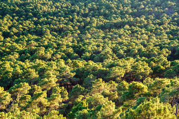 Vista aérea Pinar de Castrocontrigo, León. Pino Negral. Pinus pinaster.