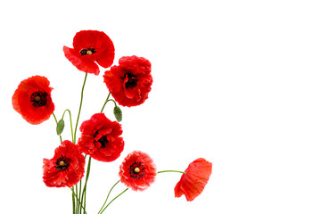 Poster Poppy Red poppies (Binomial name: Papaver rhoeas), (common names: corn poppy, corn rose, field poppy, Flanders poppy, red weed, coquelicot, headwark) on white background with space for text.