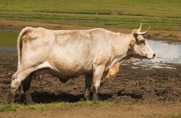 Mucca al pascolo ai Pantani di Accumoli