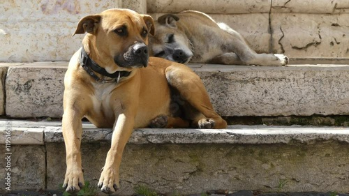 The Boerboel also known as the South African Mastiff, is a