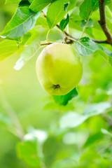 Ripe green apple growing on tree