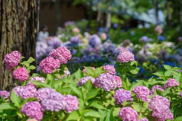 Deurstickers Hydrangea ピンク色のアジサイ