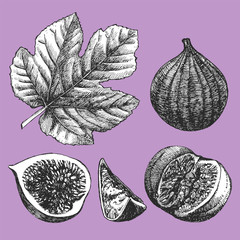 Hand-drawn illustration of Figs. Vector