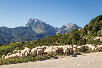 Sheep grazing in the Apennines ridge, Abruzzo, central Italy