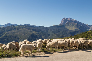 Sheep grazing by their watchful dog in the Apennines ridge, Abruzzo, central Italy