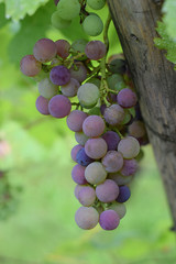 branch of purple grapes on a background texture of wood and leaves