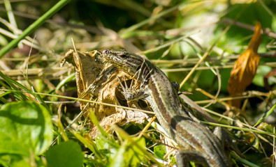 Curious and watchful grey lizard sitting in the grass in the forest, in the province of Girona, Alp, Catalunya, Spain