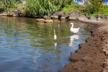 Acqua di lago con oca