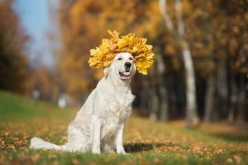 adorable golden retriever sitting outdoors in autumn