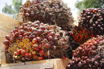 Palm oil from Borneo