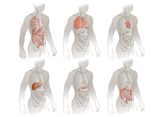 illustration of human organs