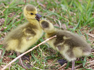 Cute pair of chicks of Canada geese