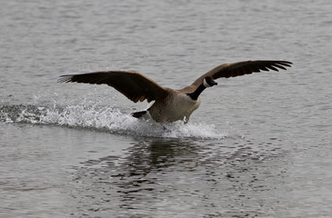 Beautiful isolated image of the landing Canada goose