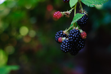 blackberries ripening and mature in a garden