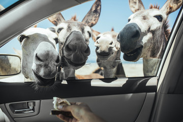 Cropped image of hand feeding bread to donkeys through car window