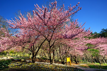 landscape of Taiwan Wuling Cherry