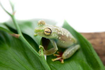 The Canal Zone tree frog on white