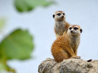 Meerkat couple