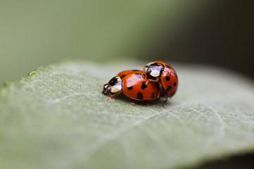 Close up of ladybugs mating on leaf