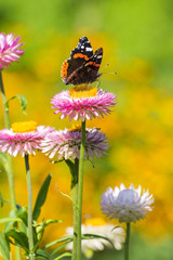 Red Admiral butterfly on Strawflower
