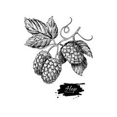 Hop plant vector drawing illustration. Hand drawn artistic beer
