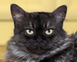 Annoyed fluffy cat