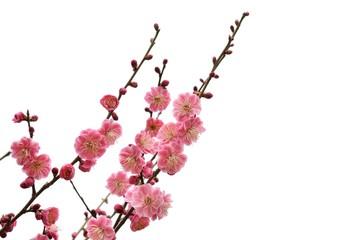 紅梅の花 白バック