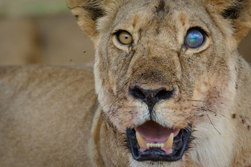 Lion (Panthera leo) with a blind eye. Ruaha National Park. Tanzania