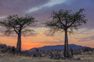 Sunset and Baobab  (Adansonia digitata). Ruaha National Park. Tanzania
