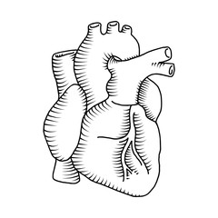 Human heart vintage illustrations