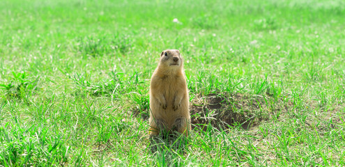 Gopher standing and starring near the burrow on the meadow