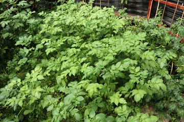 Potato plants in the garden